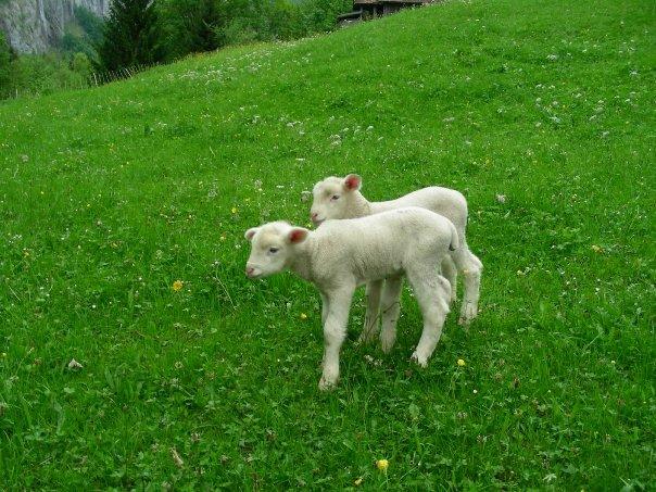 baby sheep!!!